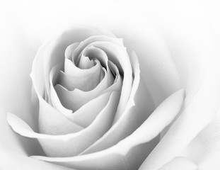 Black and White Close up Image of Beautiful Pink Rose. Flower Background