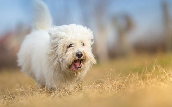 White Long Haired Dog in run - Coton de Tulear