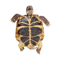 Bottom of a Russian Tortoise