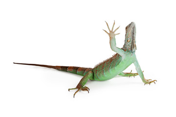 Iguana Lizard Raising Hand Up