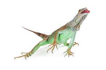 Iguana Lizard Reaching Tongue Out