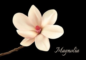 Beautiful white magnolia flower isolated on a black background.
