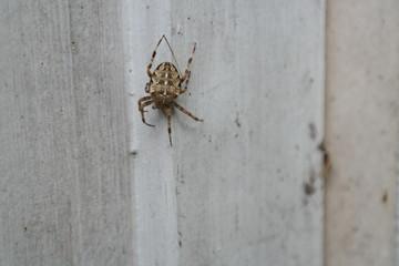 Spider on White Barn