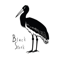 Birds collection Black Stork Black and white vector