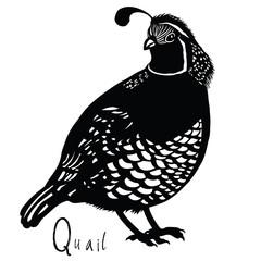 Birds collection Quail