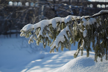 Snow-covered branches  in the winter forest.