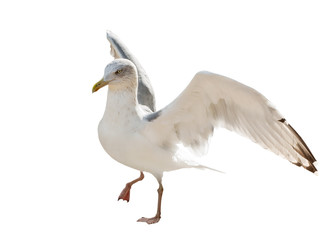 young European herring gull isolated on white