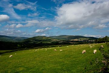 Weide mit Schafen in Irland