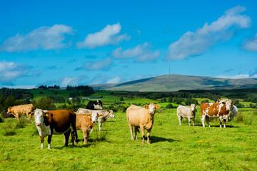 Herde mit Kühen auf sonniger Weide