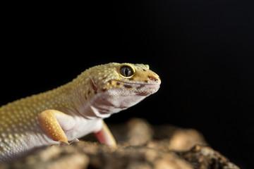 Closeup of a leopard gecko