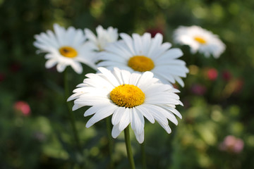 forest daisies bloom/forest daisies bloom in the summer sun