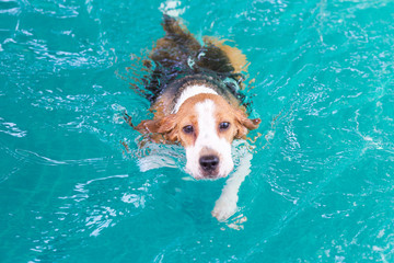 Little Beagle dog swimming in the pool