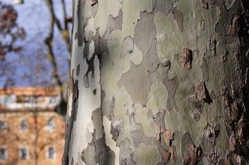 eucalyptus tree bark camouflage,Figure bark eucalyptus complete resemblance to army clothing