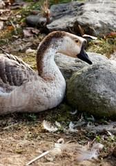 The swan goose, anser cygnoides, oca cignoide