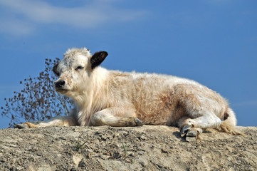 Small calf dozing in the afternoon