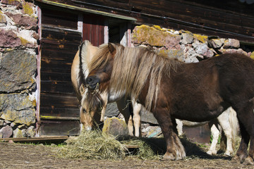 Shetland ponies eating hay outside old farm house