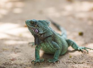 Large green iguana sitting on the sand
