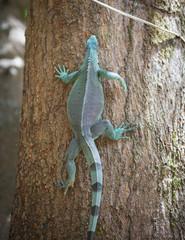 Large green iguana sitting on tree