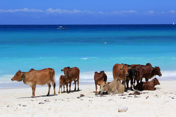 Printed kitchen splashbacks Zanzibar A herd of cows on the beach
