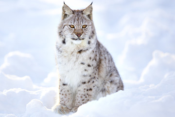 Spoed Fotobehang Lynx Beautiful lynx cub sits in the cold snow