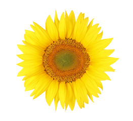 Isolated sunflower head on white bacground