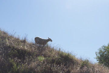 Lone sheep on a hill