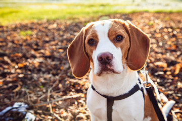 Portrait of beagle dog