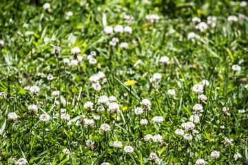 Yellow Daisy Among the Clovers