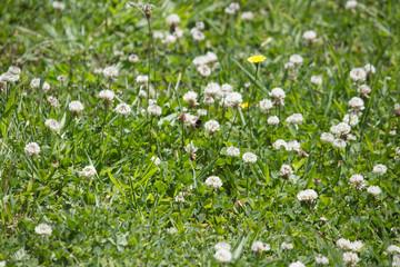 White & Prairie Clovers
