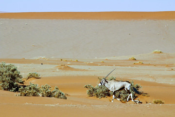 Wandering dune of Sossuvlei in Namibia with Oryx walking on it