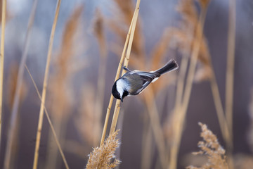 The black-capped chickadee  is a small, non migratory, North American songbird that lives in mixed forests. It is a very underrated friendly bird that will gladly take food from hands.