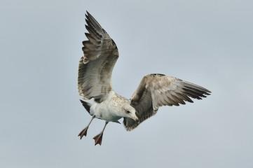 Juvenile Kelp gull (Larus dominicanus), also known as the Dominican gull