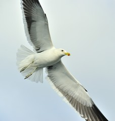 Close up Portrait of Flying adult Kelp gull (Larus dominicanus),