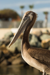 Brown Wild Pelican Bird San Diego Marina Animal Feathers