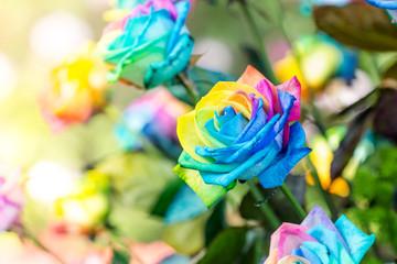 Colorful of rainbow roses flower. Macro of rainbow roses