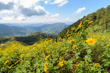Mountain nature landscape with wild Mexican sunflower valley (Tung Bua Tong ) at Doi Mea U Koh in Maehongson Province, Thailand.