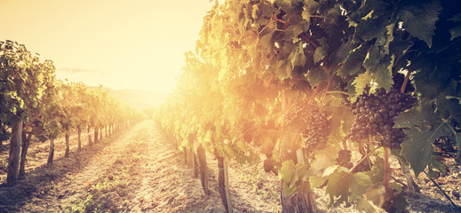 Photo sur Toile Vignoble Vineyard in Tuscany, Italy. Wine farm at sunset. Vintage