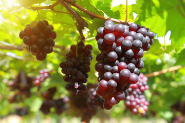 grapes in vineyard on a sunny day