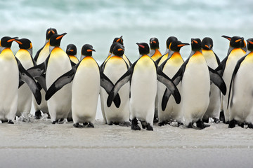 Group of king penguins coming back together from sea to beach with wave a blue sky, Volunteer Point, Falkland Islands
