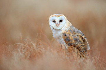 Barn Owl in light grass, clear foreground and background, Czech republic Fototapete