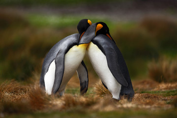 King penguin couple cuddling in wild nature with green background