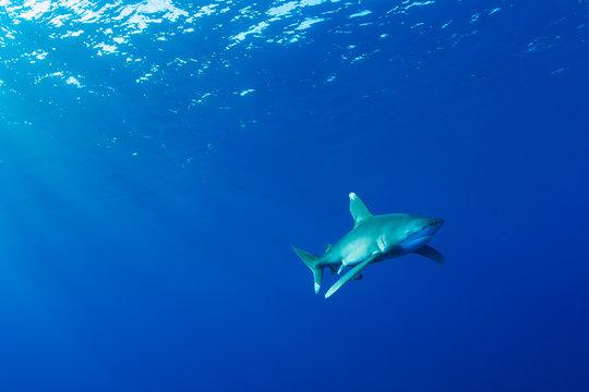 Oceanic whitetip shark, Red Sea, Egypt