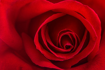 beautiful close up red rose,Valentines day concept