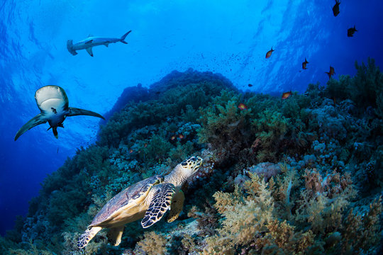 Green sea turle in a reef with sharks, Red Sea, Egypt