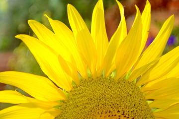 Common Sunflower, Helianthus annuus, COMPOSITAE.