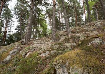 Fir forest on rock surface