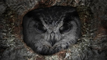 Fototapete - The evil eyes blinking. Eagle Owl (Bubo bubo) watching from a hollow tree. Forest in the night.