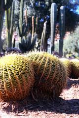 Marrakech, Morocco - January 2, 2016: Cactus garden