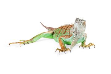Beautiful Green Iguana on White