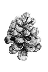 Black and white drawing of pine cone